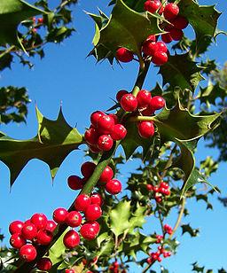 Ilex-aquifolium (Europaeische Stechpalme)-2