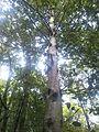 Ilex perado ssp. platyphylla 2.jpg