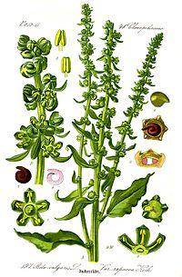 Illustration Beta vulgaris var.JPG