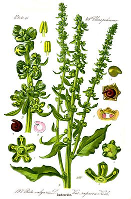 Zuckerrübe (Beta vulgaris subsp. vulgaris, Altissima-Gruppe), Illustration