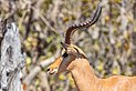 Impala (Aepyceros melampus), parque nacional de Chobe, Botsuana, 2018-07-28, DD 10.jpg