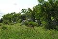 Impala nibble by the rocks (394290004).jpg