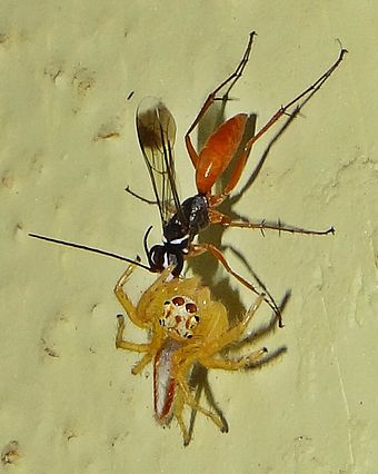 Spider wasp (Pompilidae) dragging a jumping spider (Salticidae) to provision a nest IndianSpiderWasp.JPG