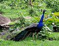 Indian National Bird - Peacock.jpg