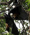 Indian flying fox (Pteropus giganteus) in AP W IMG 8117.jpg