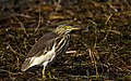 Indian pond heron - Bird from Nepal by Krishna (25).jpg
