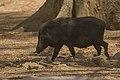 Indonesian wild boar (Sus scrofa vittatus) - Indonesia.jpg