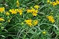 Inula britannica (7757965726).jpg
