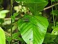 Invertebrate Tettigoniidae (Katydid) 01.jpg
