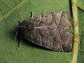 Ipimorpha retusa - Double kidney - Острокрылая совка ивовая (27256726508).jpg