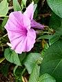 Ipomoea walpersiana Flowers.jpg
