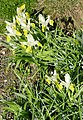 Iris bucharica in Jardin des Plantes 06.jpg