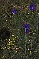 Iris des Pyrénées sur le plateau d'Alans.jpg