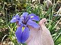 Iris giganticaerulea 6569705.jpg