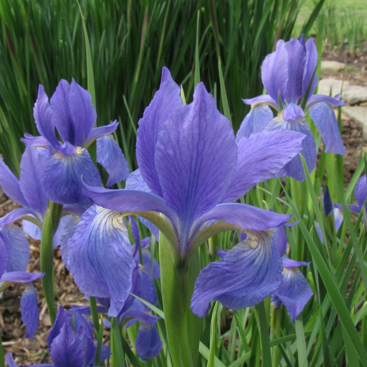Iris typhifolia wikipedia izmirmasajfo