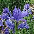 Iristyphifolia.jpg