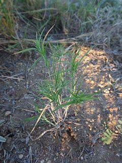 Iseilema genus of plants