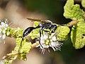 Isodontia paludosa Sphecidae (39878790812).jpg