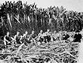 Italian sugar cane cutters, Innisfail District, Queensland, 1923 (8756926826).jpg