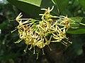 Ixora malabarica flowers at Mayyil (9).jpg