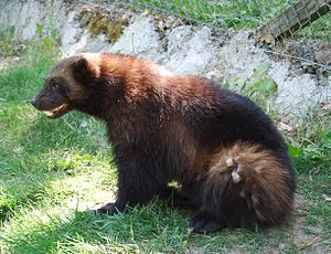 Nordens Ark - A wolverine at the park