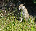 Jaguar (Panthera onca) female on the riverbank ... (48675925446).jpg