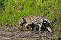 Jaguar (Panthera onca) male hunting along the river bank ... (27760309373).jpg