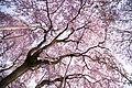Japan Spring Pink (14086209571).jpg