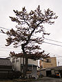 Japanese Black Pine stood by the former Tokaido, in Toyohashi 2.jpg