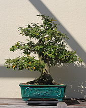 Japanese Camellia bonsai 55, October 10, 2008.jpg