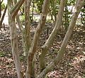 Japanese Crepe Myrtle, Crape Myrtle 'Acoma' (Lagerstroemia x fauriei).jpg
