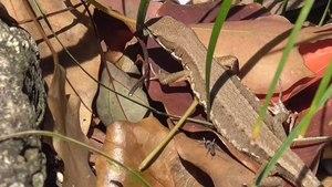 File:Japanese grass lizard (Takydromus tachydromoides).webm