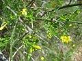 Jasminum fruticans.002 - Serra de Enciña de Lastra.JPG