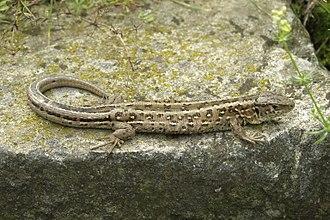 Sand lizard - Image: Jaszczurka