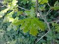 Jeunes feuilles de chêne à Grez-Doiceau 002.jpg