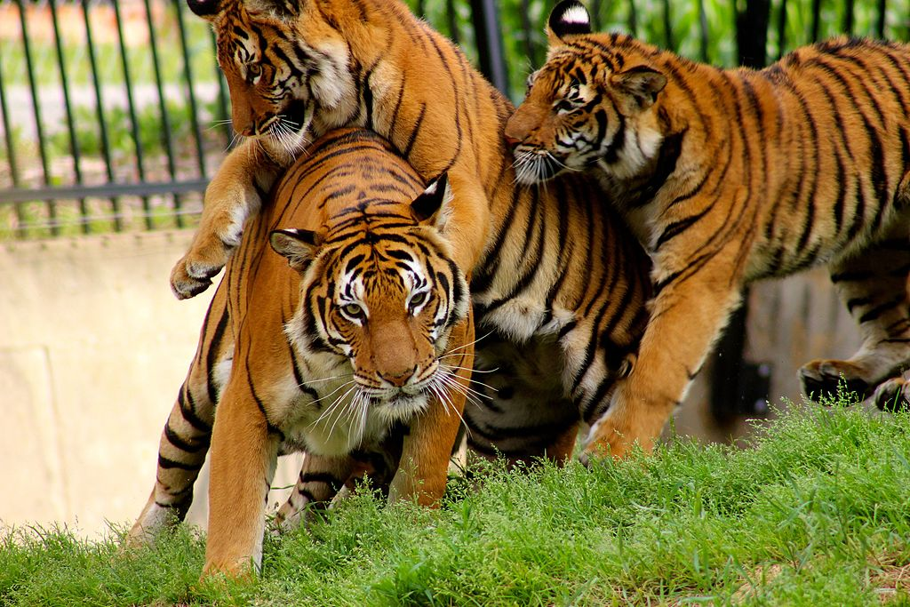 Jin a critically endangered malayan tiger playing with her cubs