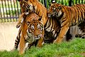 Jin a critically endangered malayan tiger playing with her cubs.JPG