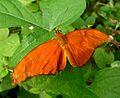 Julia longwing^ Dryas julia - Flickr - gailhampshire.jpg