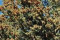 Juniperus scopulorum male Santa Fe.jpg