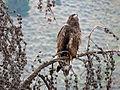 Junvenile Bald Eagle (15229384025).jpg