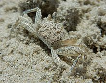 Ghost Crabs Virginia Beach