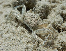 Juvenile Atlantic Ghost Crab.JPG