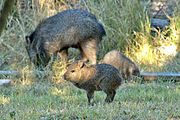 Juvenile javelina near Glenwood NM USA.jpg