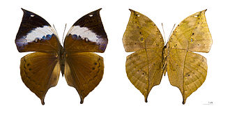 Kallima - Image: Kallima paralekta paralekta femelle