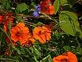 Kapuzinerkresse – Arboretum Ellerhoop 2.jpg