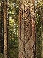 Karr männi tüvel Karula rahvuspargis.JPG