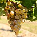 Keknyelű grape cluster.jpg