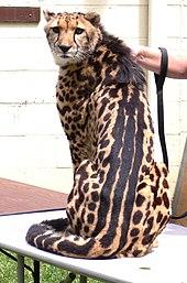 Een zittende koning cheetah