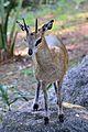 Klipspringer at Brevard Zoo.jpg