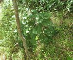 Knowltonia vesicatoria - Southern Afrotemperate Forest at Newlands Cape Town 3.JPG